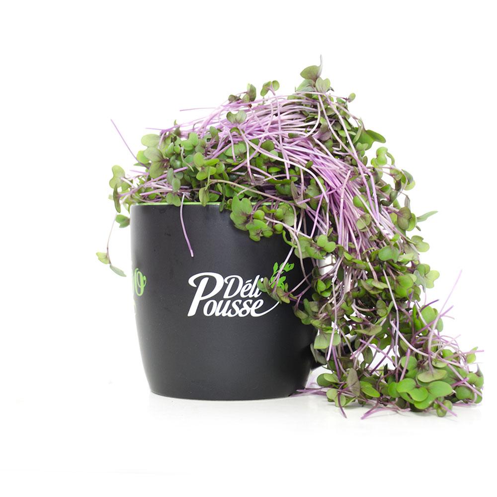 pousses-tango-pousses-vegetales-commestibles-chou-rave