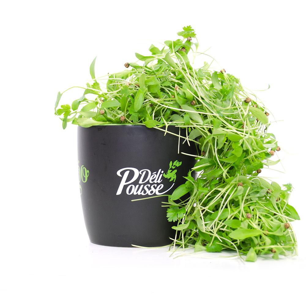 pousses-tango-pousses-vegetales-commestibles-coriande